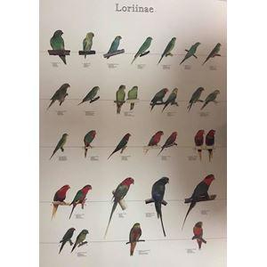 Plakát LORIOVÉ 3